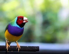 """O diamante de Gould é notável por com suas belas """"estampas"""" coloridas. Estes pássaros vivem no nordeste da Austrália e são protegidos por um projeto de conservação que estima a existência de apenas 2.500 aves em estado selvagem."""