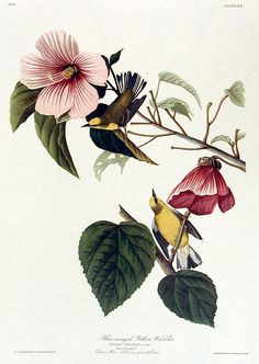Blue-winged Yellow Warbler. From The Birds of America Amsterdam Edition | John James AUDUBON