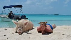 How's this for a story idea? Legend has it the pigs made the island their home after being dumped by sailors who had planned to return and use them for meat.