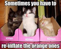 Sometimes you have to re-inflate the orange ones. Haha! Kittens. funny animals, funny pics, funny animal pics, funny animal pictures, funny pictures, funny cats, funni, baby kittens, orange cats