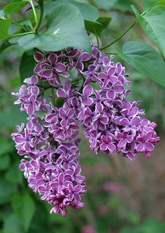 Lilac. Syringa vulgaris 'Sensation'