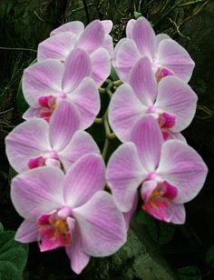 (2) Orquídeas Phalaenopsis Várias Cores - R$ 25,90 em Mercado Livre