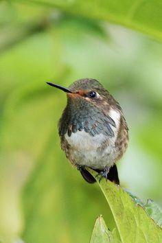 Volcano Hummingbird Male by Hal Beral