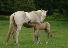 Pipi & Hallygul ~ Akhal-Teke Mare & Foal ~ Sweet Water Farm Akhal-Teke ~  www.akhalteke.cc