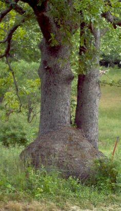 Large white oak burl