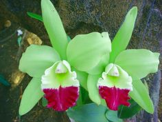 Blc. Green Hor Tou 'Holiday'