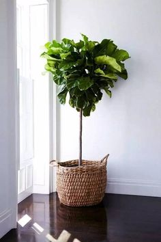 Fiddle Leaf Fig Tree Standard (Ficus lyrata) (Size: to Tall) Green Plants, Indoor Plants, Interior Styling, Natural Home Decor, Home And Garden, Ficus, Interior, Ficus Lyrata, Plant Decor