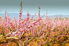 Almendros en flor ,Chulilla