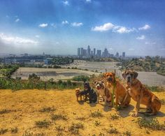 THINK BLUE: Chavez ruffine  #skyline #chavezravine #dodgerstadium #dodgerdogs #baseballgame #epicsky #thelineup #greatdanes #tosa #tosainu #mastiff #pitbullsofig #frenchies #yorkies #playmates  #petsofinstagram #animallovers #buzzfeedanimals #dtla #downtownla #lastory #losangeles #mustlovedogs #ABC7Eyewitness #photographer #ruffcutzdtla by ruffcutzdtla