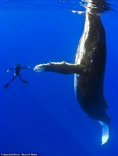 Rescued Humpback Whale Thanks Divers Who Saved, Set Her Free | Global Animal. humpback whale and diver