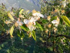 Fleur de pommiers