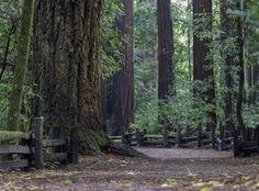 Henry Cowell State Park, Felton, California