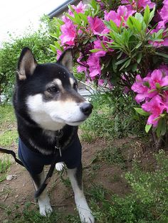 black and tan shiba...my fav