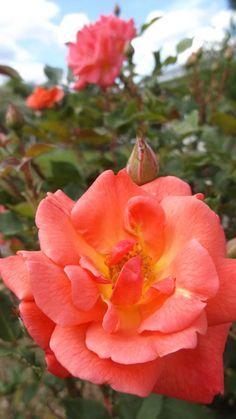 Photobucket - Two Roses
