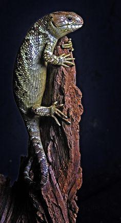 Corucia zebrata - Solomon Island Prehensile Tailed Skink (Monkey Tail Skink) I miss my Buttercup! Wild Animals, Cute Animals, Lizard Species, Spiders And Snakes, Chameleon Lizard, Tortoise Turtle, Terrapin, Chameleons, Solomon Islands