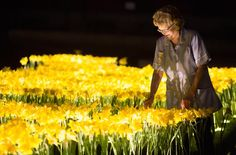 garden of light daffodil installation art marie curie greyworld great daffodil appeal