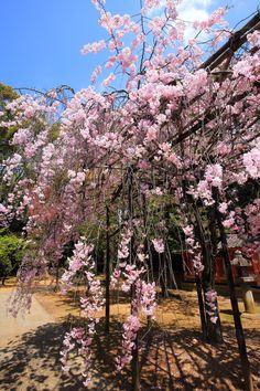 Kyoto Gokonomiya-jinja shrine weeping cherry tree