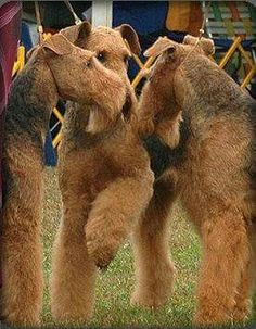 Airedale Terriers meet at the dog show Airedale Terrier, Fox Terrier, Irish Terrier, I Love Dogs, Cute Dogs, Doggies, Dogs And Puppies, Large Dog Breeds, Dog Rules