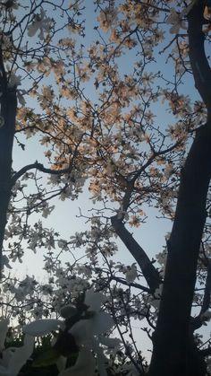 Golden hour, star magnolia blossoms