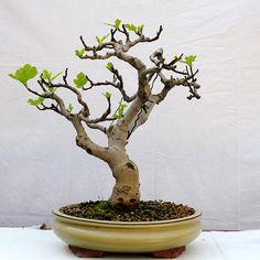 fig fruit bonsai | Ficus+carica+bonsai