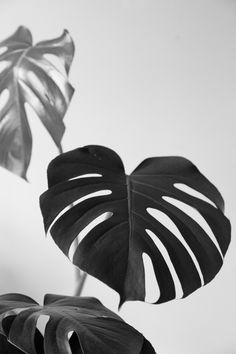 Monstera Deliciosa, black and white. http://www.botanicstilllife.com