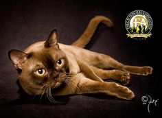 The Burmese breed first came to America in 1930 when Dr. Joseph Thompson of San Francisco brought a small walnut brown female cat from Burma.