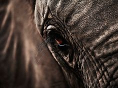 I took this photo on a job in South Africa, in Kruger National Park. This particular elephant is Jabulani, which is featured on Amarula bottles. It was after an elephant safari through the African bush. Photograph by Eric Langlay. Elephant Eye, African Elephant, Elephant Pictures, Animal Pictures, Beautiful Creatures, Animals Beautiful, Africa Tattoos, Elephants Never Forget, Kruger National Park