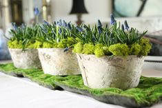 Muscari in tin planters covered with bark strips, sitting on moss from the garden center.