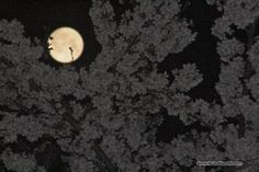 Full moon and cherry blossoms in the night.夜桜満月
