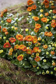 adelaparvu.com despre crinzantema la ghiveci, chrysanthemum, text Carli Marian (13) Chrysanthemum, Nature, Gardening, Design, Plant, Naturaleza, Lawn And Garden, Design Comics