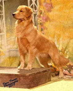 Golden Retriever - FEMALE ONLY, ALMOST NEVER BARK, VERY, VERY SOCIAL, WONDERFUL WITH KIDS...ORIGINATED IN SCOTLAND!