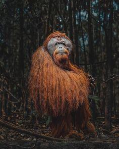 this orangutan is in Kalimantan (Borneo), Indonesia Nature Images, Nature Photos, Wildlife Photography, Animal Photography, Orang Utan, Rare Animals, Strange Animals, Wild Animals, Extinct Animals