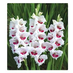 Colorful gladiolus flowers cover tall stalks from top to bottom. Plant gladiolus bulbs along a foundation for a dramatic summer display. Gladiolus Bulbs, Gladiolus Flower, Spring Plants, Spring Blooms, Gladioli, Planting Bulbs, Planting Flowers, Bulb Flowers, Beautiful Flowers