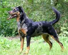 This is a harlequin Beauceron appreciation post.