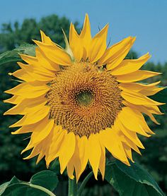 Sunflower, Mammoth Russian  Huge heads are ideal for competition at fairs. 12 foot stalks!!!