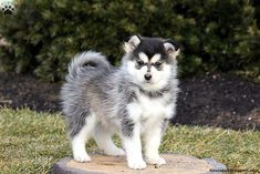 People oftentimes want something that can suit in their family a pet that could become a perfect indoor companion and there is one breed that is capable and its name is miniature husky. Pomeranian Breed, Pomsky Dog, Malamute Dog, Husky Puppy, Husky Mix, Husky Breeds, Dog Breeds, Miniature Husky, Pomsky Puppies For Sale