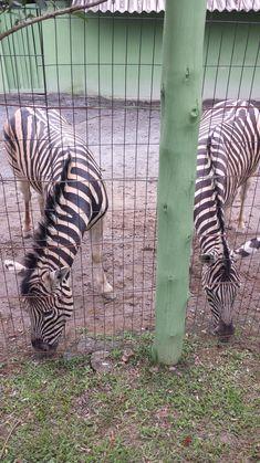 Zebras, Animals, Animal Wallpaper, Giraffes, Travel Photos, South America, Travel Tips, City, Parks