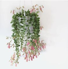 How beautiful is this? Don't forget to post your trailing pla. How beautiful is this? Don't forget to post your trailing plants tomorrow we will share some of our favorite ones on our…, Hanging Succulents, Growing Succulents, Hanging Plants, Indoor Plants, Planting Flowers, Diy Hanging, House Plants Decor, Plant Decor, Garden Plants