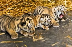 Baby tigers!