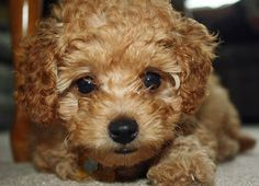 Winnie the Poodle-Just about the cutest poodle ever! Adorable!