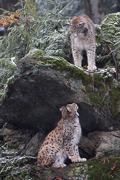 Lynx at play Cute Baby Animals, Animals And Pets, Wild Animals, Big Cats, Cool Cats, Beautiful Cats, Animals Beautiful, Leopard Animal, Snow Leopard