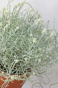 Leucophyta brownii - Stacheldrahtpflanze, Bonanzagras, Geisterstrauch