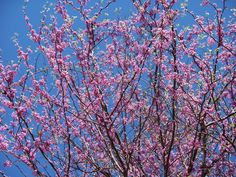 """This is my mature red bud tree that I grew from a 2"""" baby plant."""