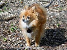 Pomeranian_    Like, repin, share! :)