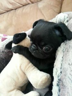 Pug puppy with his very own pug puppy! <3 Cute!!! ;)
