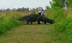 Photographers flanked both sides of a gigantic gator to capture the massive reptile strutting across a path. The video was shot at Circle B Bar Reserve in Lakeland, Florida on Sunday.