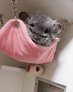 chinchilla in a hammock Chinchillas, Cage Chinchilla, Animals And Pets, Funny Animals, Photographie Portrait Inspiration, Cute Little Animals, Cute Animal Pictures, Cute Creatures, Exotic Pets