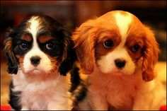 Cavalier King Charles Spaniel. I'm re pinning this, but these are literally my puppies haha