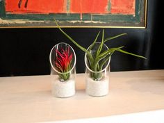 Air Plant Tilly Kit- Combo