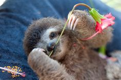 Picture of a baby sloth